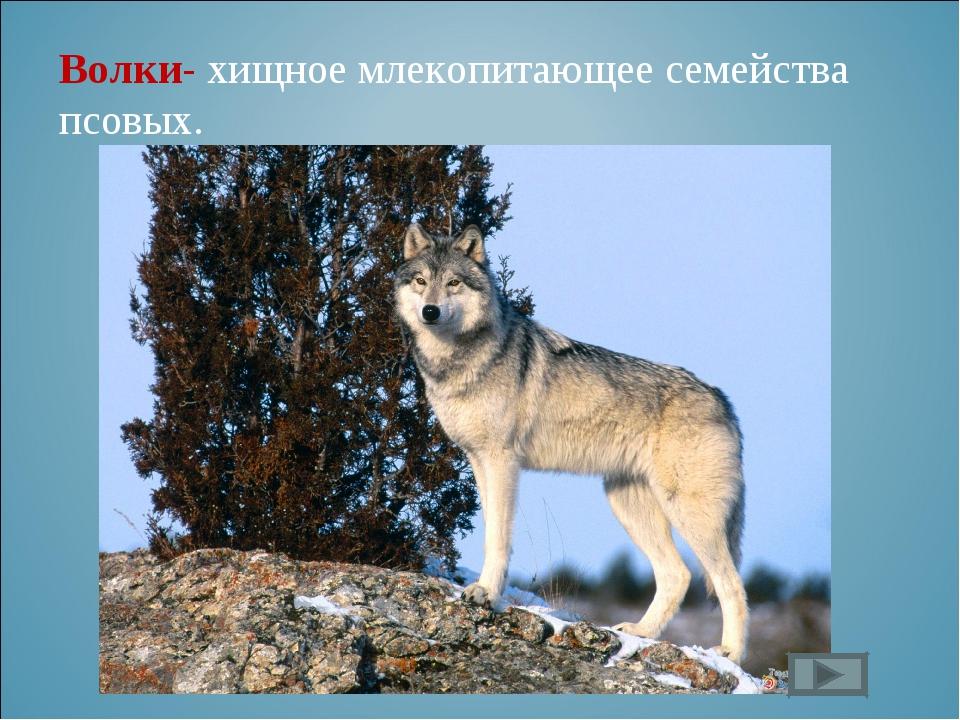 Волки- хищное млекопитающее семейства псовых.