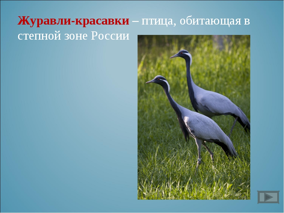Журавли-красавки – птица, обитающая в степной зоне России