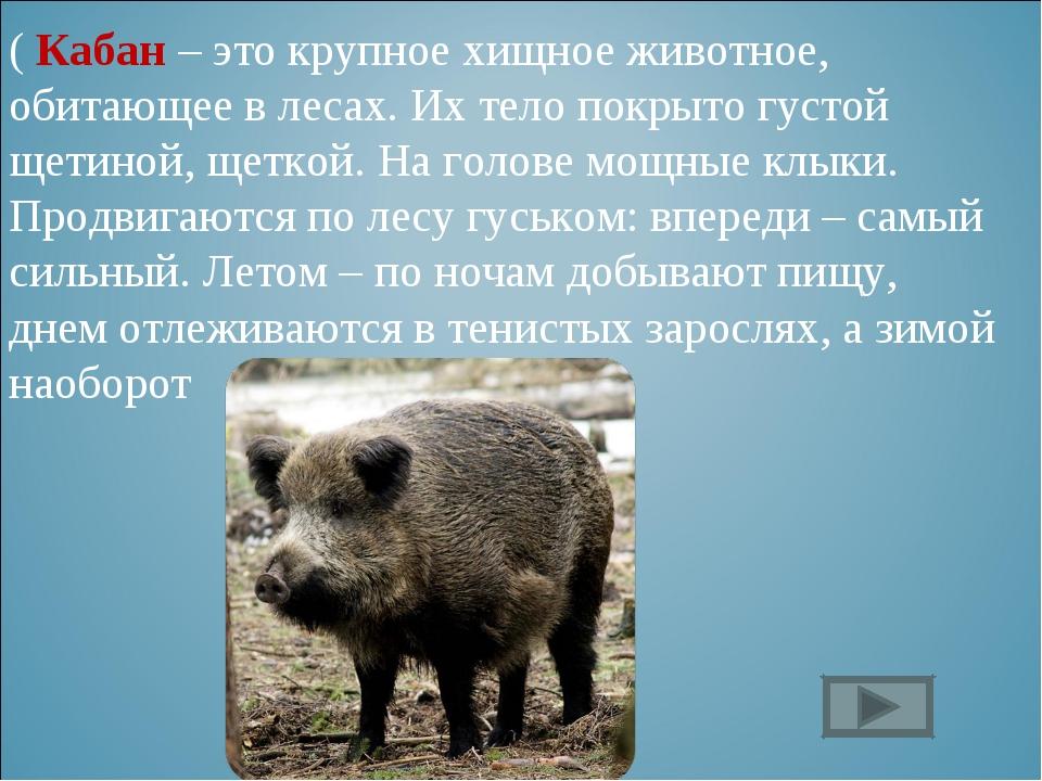 ( Кабан – это крупное хищное животное, обитающее в лесах. Их тело покрыто гус...