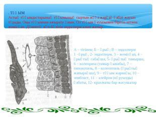 . ТҰҚЫМ Астық тұқымдастарының тұқымының сыртын жұқа жарғақ қабат жауып тұрады