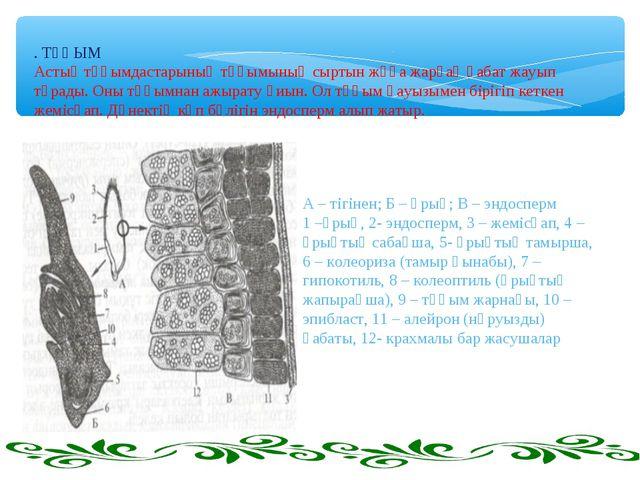 . ТҰҚЫМ Астық тұқымдастарының тұқымының сыртын жұқа жарғақ қабат жауып тұрады...