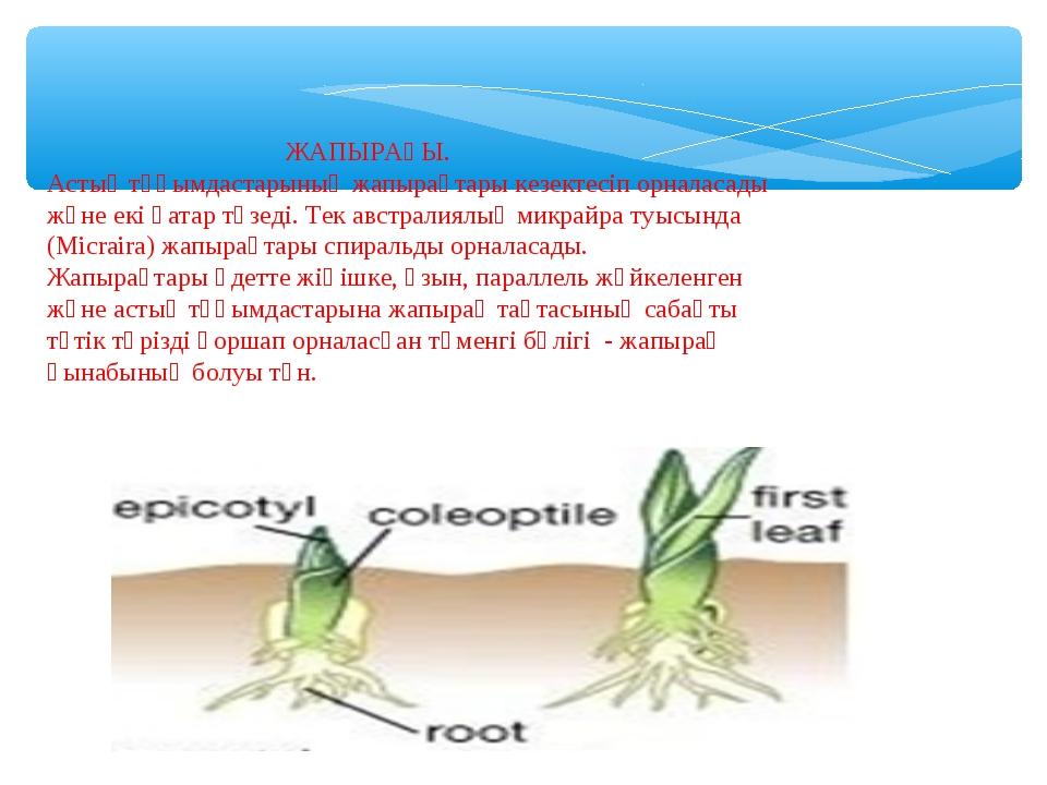 ЖАПЫРАҒЫ. Астық тұқымдастарының жапырақтары кезектесіп орналасады және екі қ...
