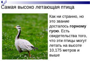 Самая высоко летающая птица Как ни странно, но это звание досталось горному г