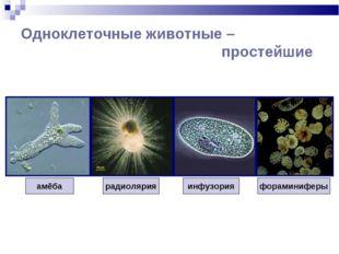 Одноклеточные животные – простейшие амёба инфузория радиолярия фораминиферы