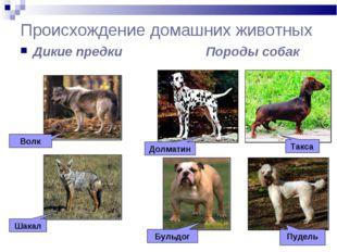 Происхождение домашних животных Дикие предки Породы собак Волк Шакал Долматин