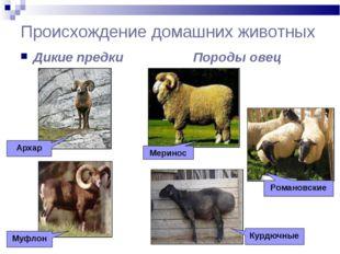 Происхождение домашних животных Дикие предки Породы овец Архар Муфлон Меринос