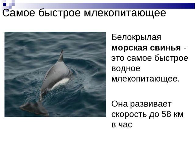 Самое быстрое млекопитающее Белокрылая морская свинья - это самое быстрое вод...
