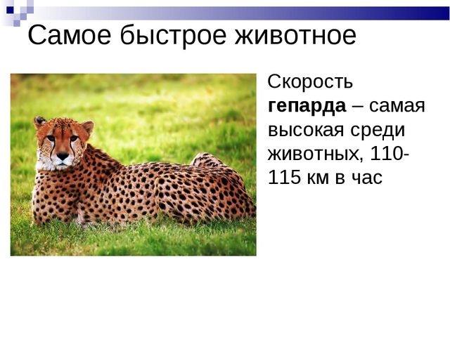 Самое быстрое животное Скорость гепарда – самая высокая среди животных, 110-1...