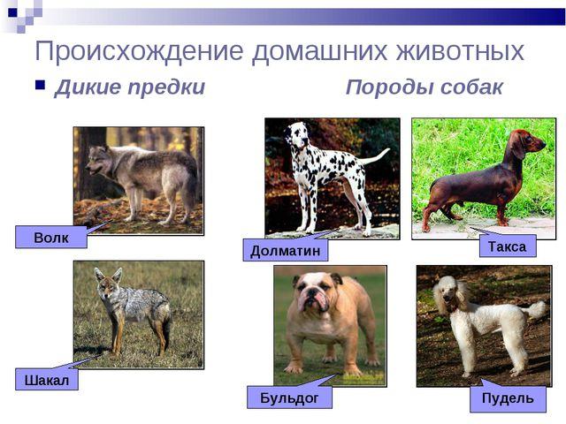 Происхождение домашних животных Дикие предки Породы собак Волк Шакал Долматин...