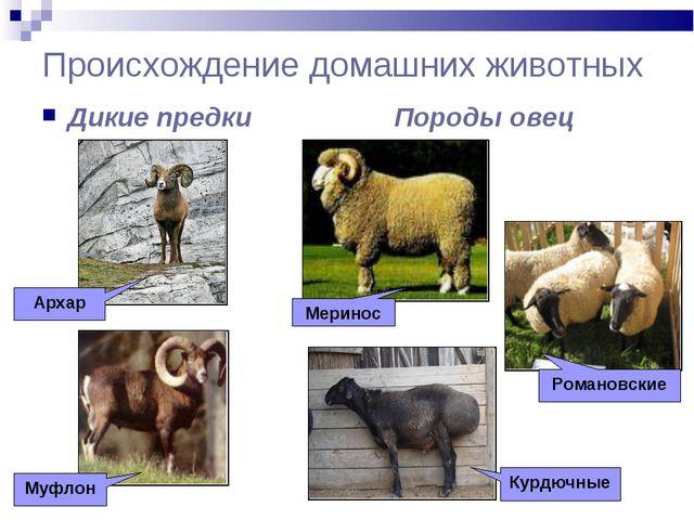 Происхождение домашних животных Дикие предки Породы овец Архар Муфлон Меринос...