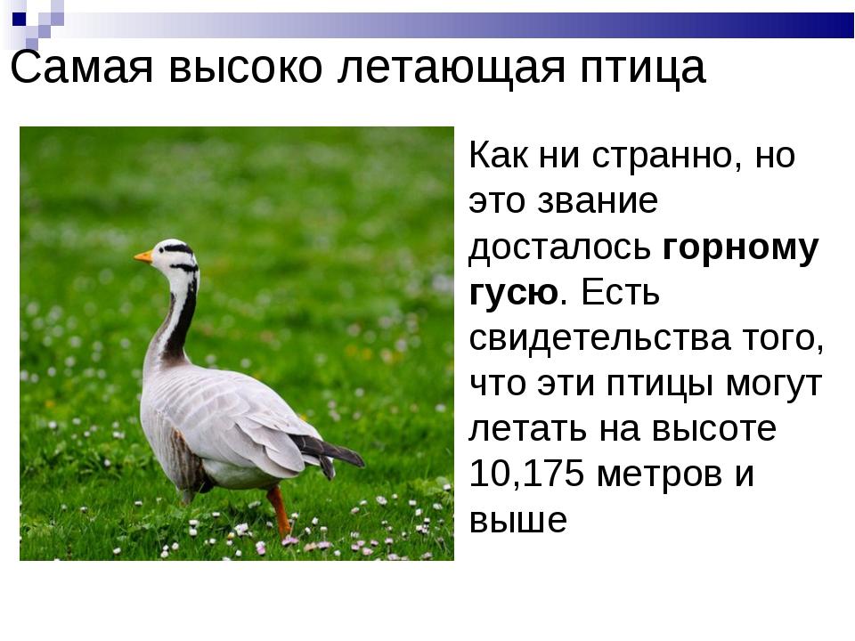 Самая высоко летающая птица Как ни странно, но это звание досталось горному г...