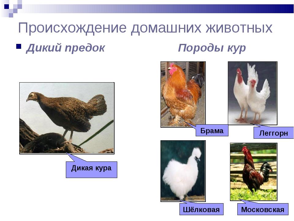 Происхождение домашних животных Дикий предок Породы кур Дикая кура Брама Легг...