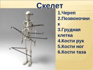 Скелет 1.Череп 2.Позвоночник 3.Грудная клетка 4.Кости рук 5.Кости ног 6.Кости