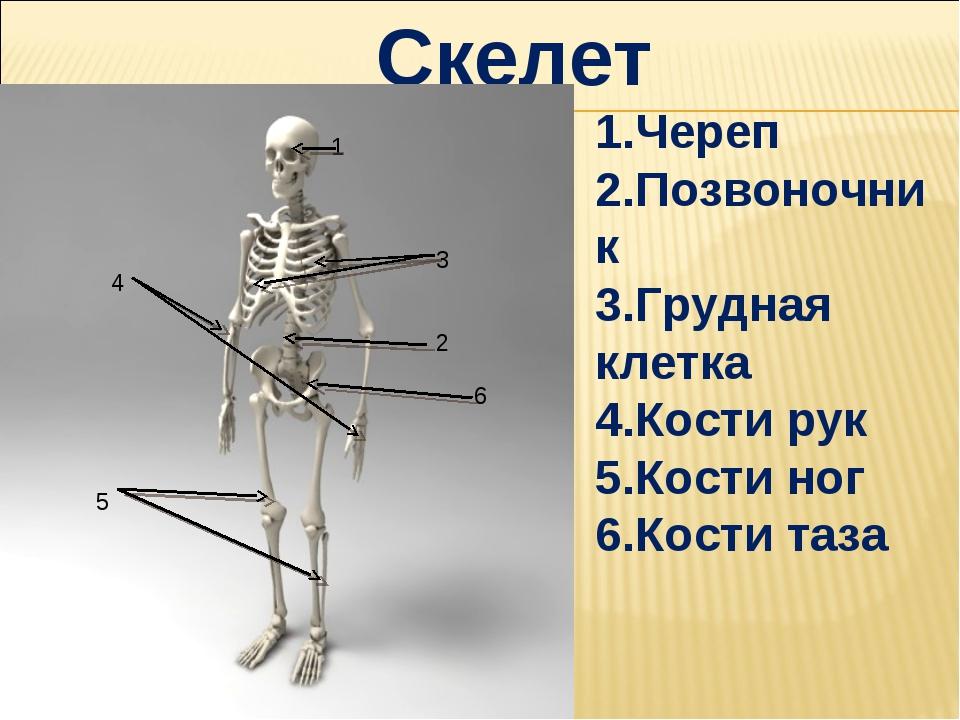 Скелет 1.Череп 2.Позвоночник 3.Грудная клетка 4.Кости рук 5.Кости ног 6.Кости...