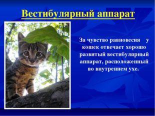 Вестибулярный аппарат За чувство равновесия у кошек отвечает хорошо развитый