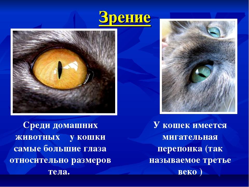 Зрение Среди домашних животных у кошки самые большие глаза относительно разме...