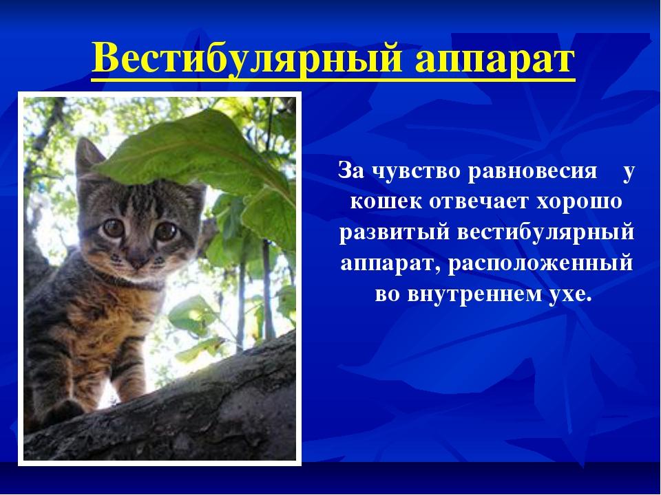 Вестибулярный аппарат За чувство равновесия у кошек отвечает хорошо развитый...