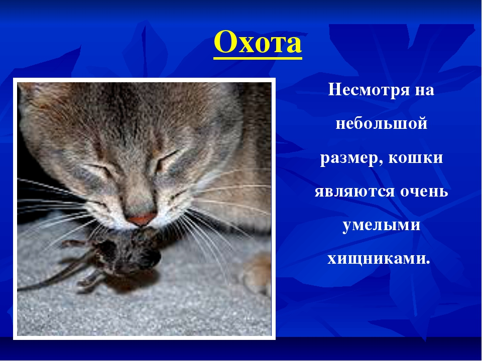 Охота Несмотря на небольшой размер, кошки являются очень умелыми хищниками.
