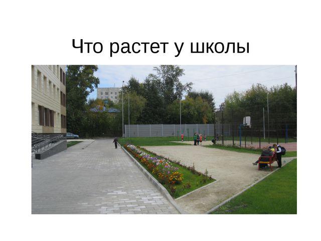 Что растет у школы