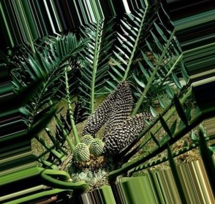 Голосеменные растения картинки