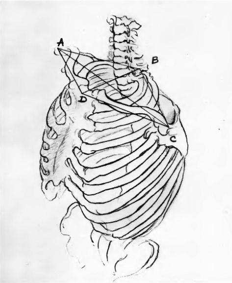 Схема верхней части плечевого пояса