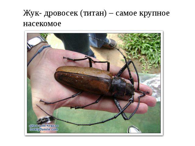 Жук- дровосек (титан) – самое крупное насекомое