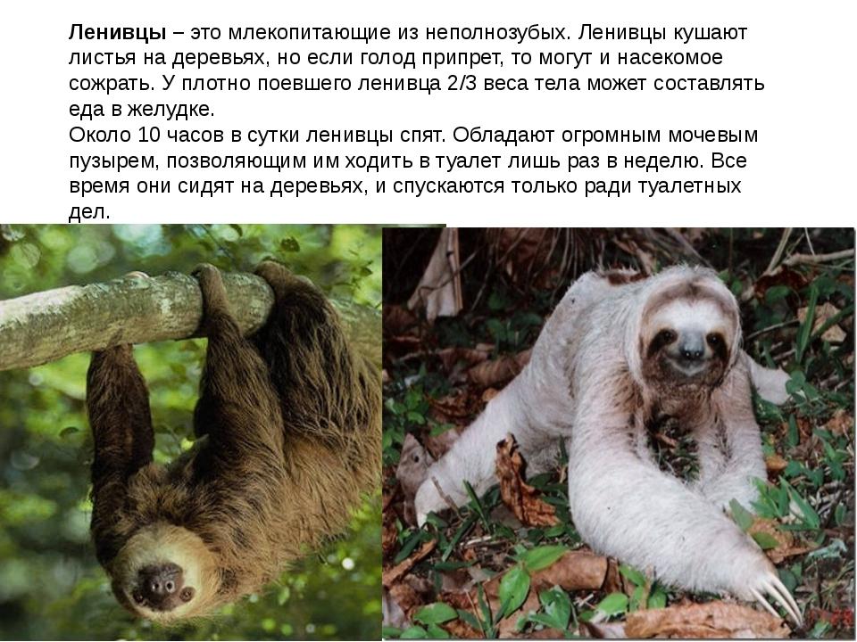 Ленивцы – это млекопитающие из неполнозубых. Ленивцы кушают листья на деревь...