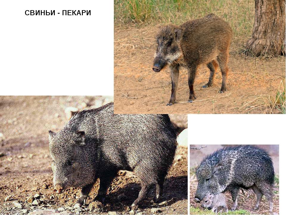 СВИНЬИ - ПЕКАРИ