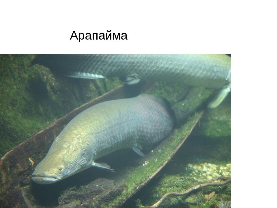 Арапайма