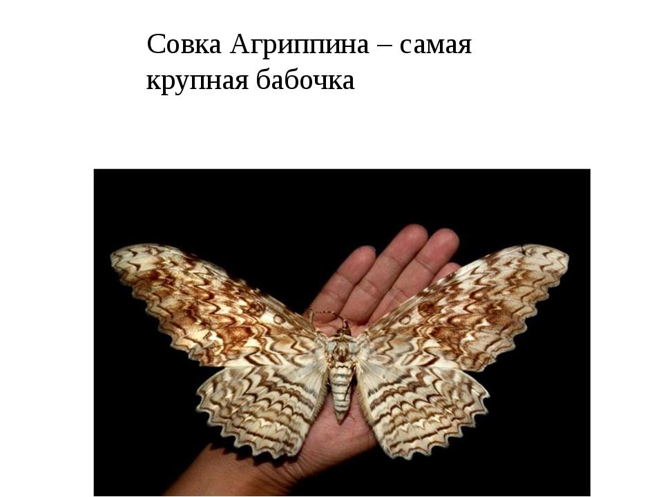 Совка Агриппина – самая крупная бабочка