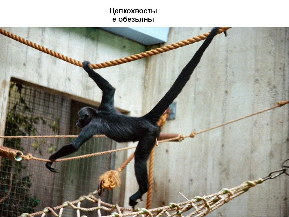 Цепкохвостые обезьяны