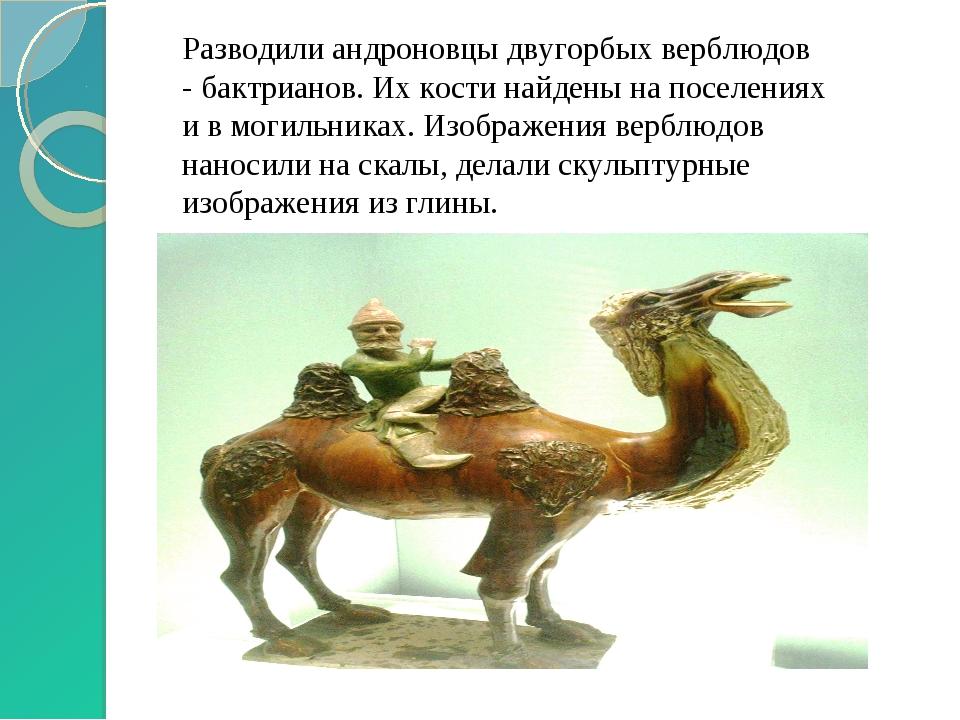 Разводили андроновцы двугорбых верблюдов - бактрианов. Их кости найдены на по...