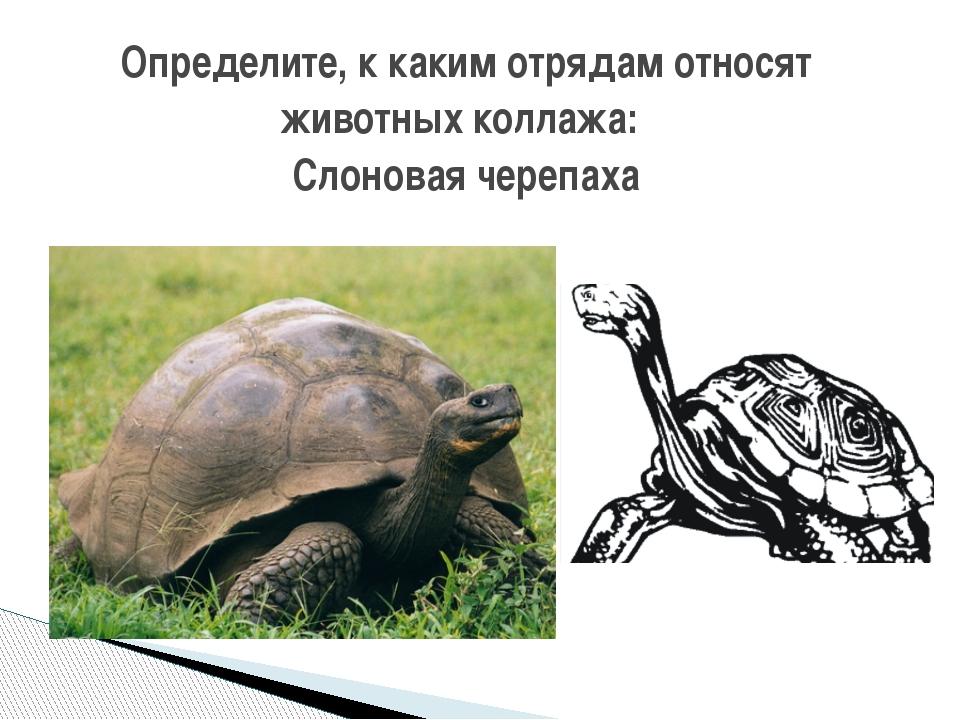 Определите, к каким отрядам относят животных коллажа: Слоновая черепаха