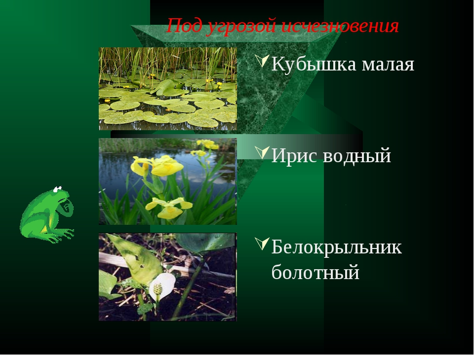 Под угрозой исчезновения Кубышка малая Ирис водный Белокрыльник болотный