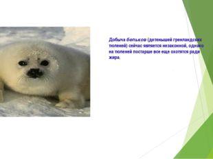 Добыча бельков (детенышей гренландских тюленей) сейчас является незаконной, о