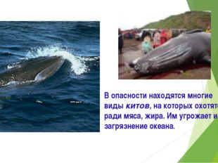 В опасности находятся многие виды китов, на которых охотятся ради мяса, жира.