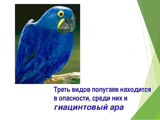 Треть видов попугаев находится в опасности, среди них и гиацинтовый ара