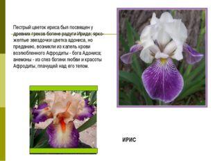 Пестрый цветок ириса был посвящен у древних греков богине радуги Ириде; ярко-