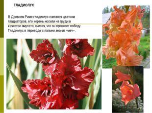 В Древнем Риме гладиолус считался цветком гладиаторов, его корень носили на г