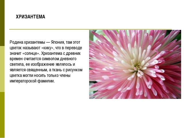Родина хризантемы — Япония, там этот цветок называют «кику», что в переводе з...