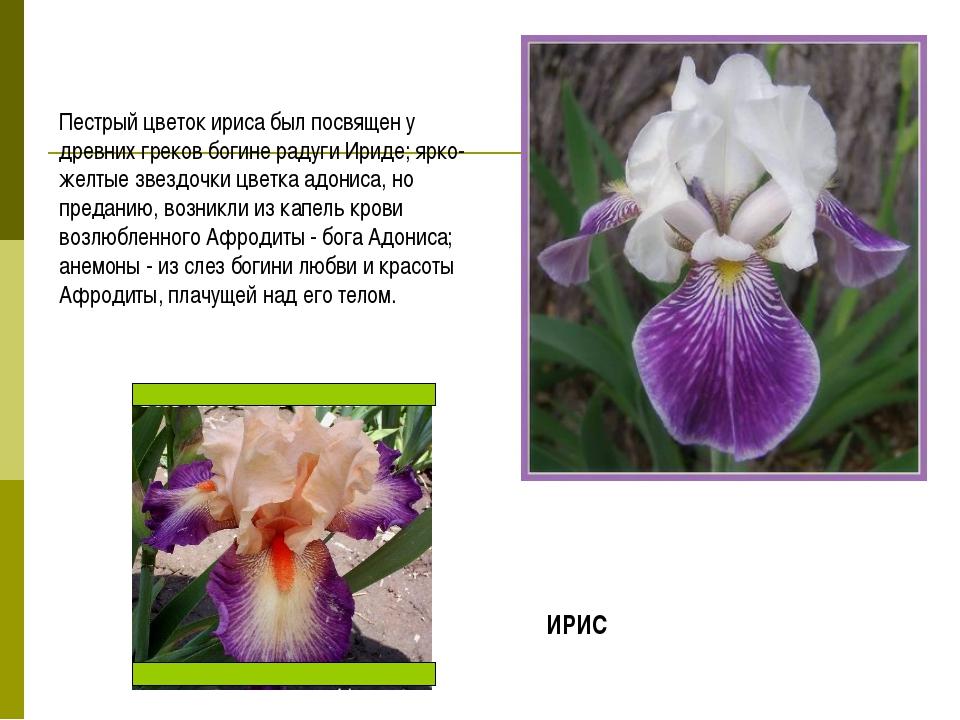 Пестрый цветок ириса был посвящен у древних греков богине радуги Ириде; ярко-...