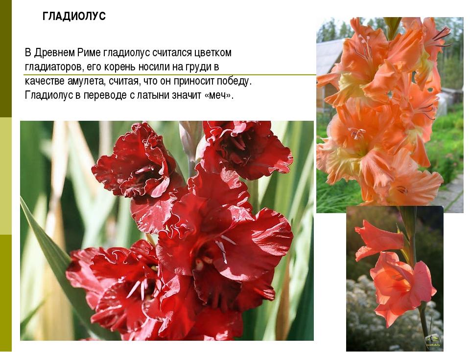 В Древнем Риме гладиолус считался цветком гладиаторов, его корень носили на г...
