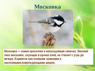 Московка Московка — самая крохотная и непоседливая синичка. Звонкий писк моск