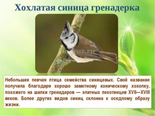 Хохлатая синица гренадерка Небольшая певчая птица семейства синицевых. Своё н