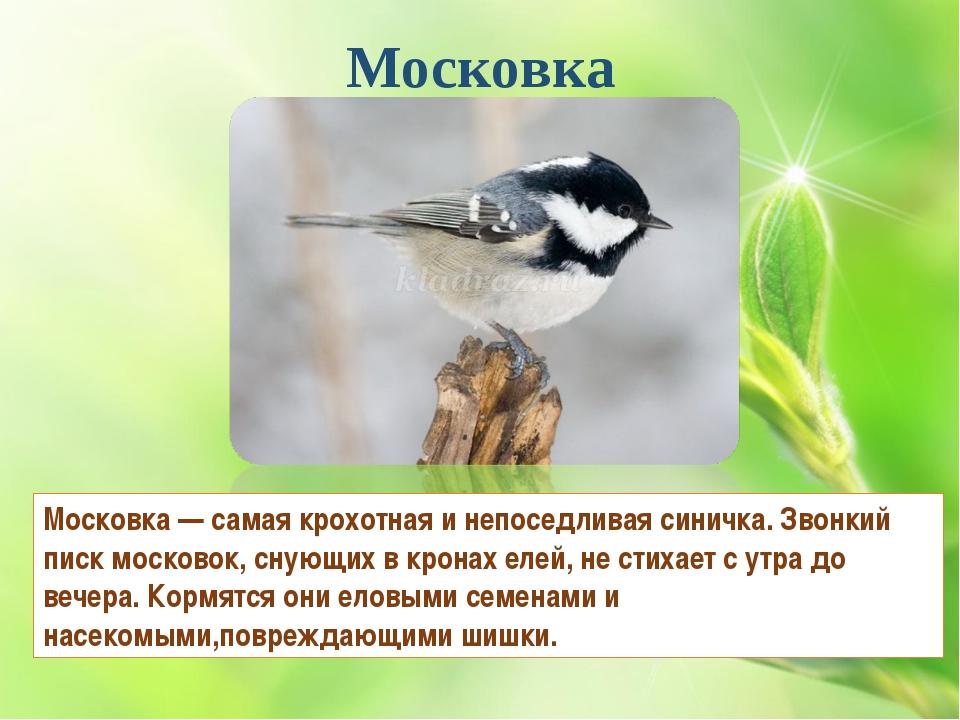 Московка Московка — самая крохотная и непоседливая синичка. Звонкий писк моск...