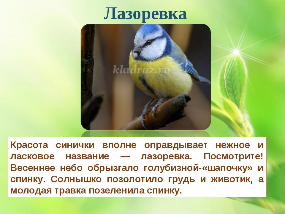 Лазоревка Красота синички вполне оправдывает нежное и ласковое название — лаз...