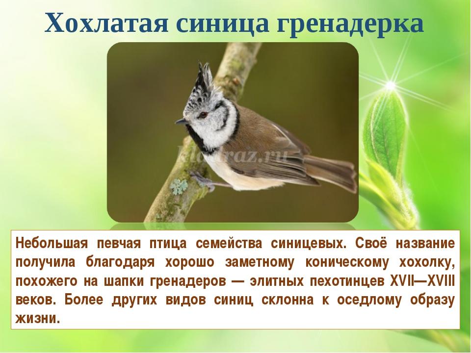 Хохлатая синица гренадерка Небольшая певчая птица семейства синицевых. Своё н...