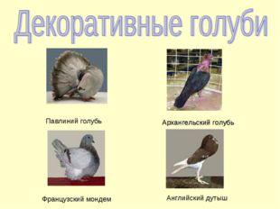 Архангельский голубь Павлиний голубь Архангельский голубь Французский мондем