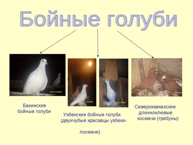 Бакинские бойные голуби Узбекские бойные голуби (двухчубые красавцы узбеки-...