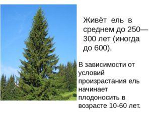 Живёт ель в среднем до 250—300 лет (иногда до 600). В зависимости от условий